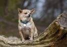 Hund på træstub
